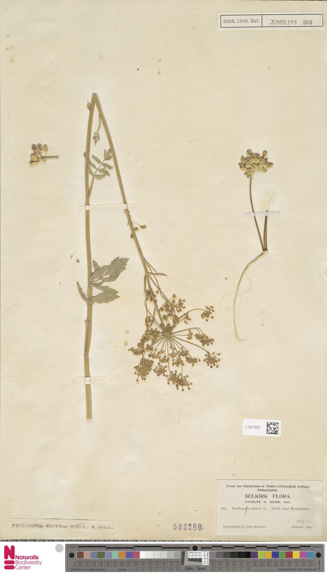 L.2577622 | Pastinaca sativa L.