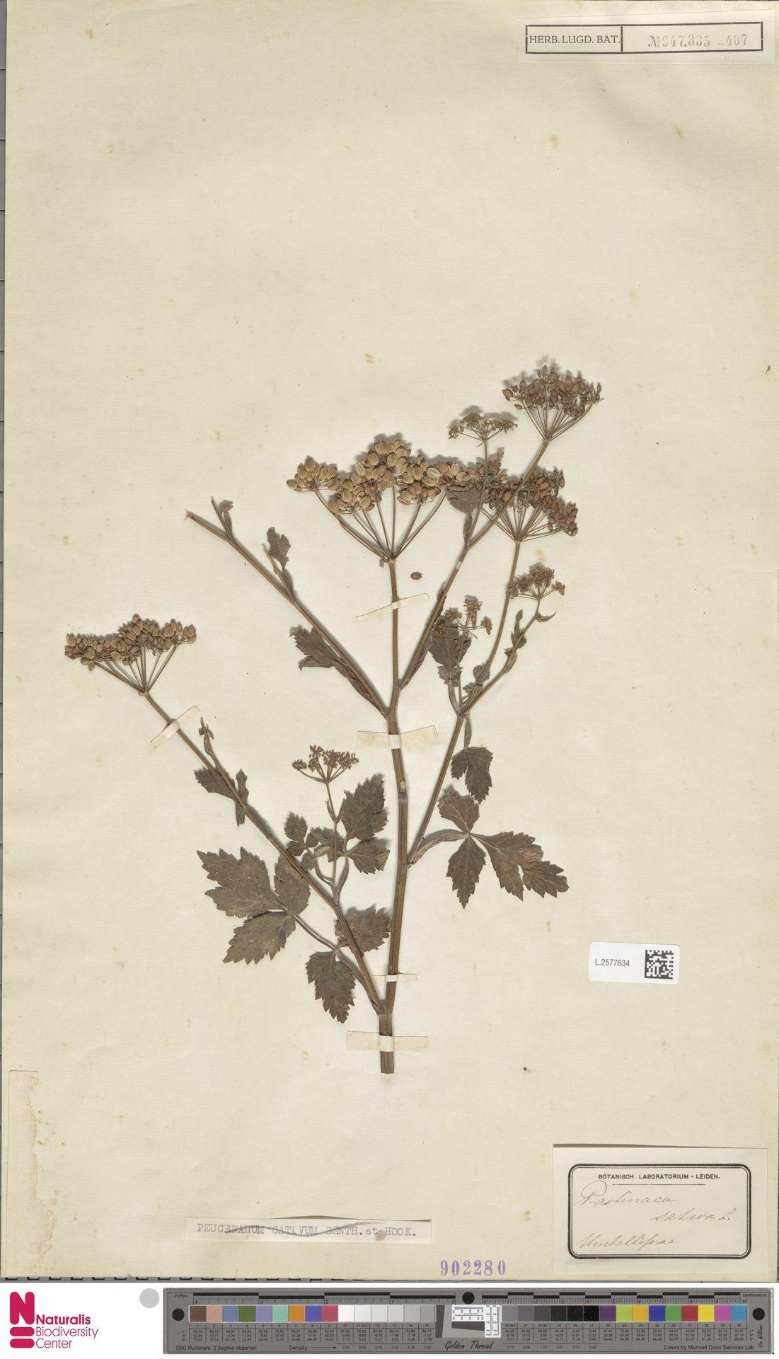 L.2577634 | Pastinaca sativa L.