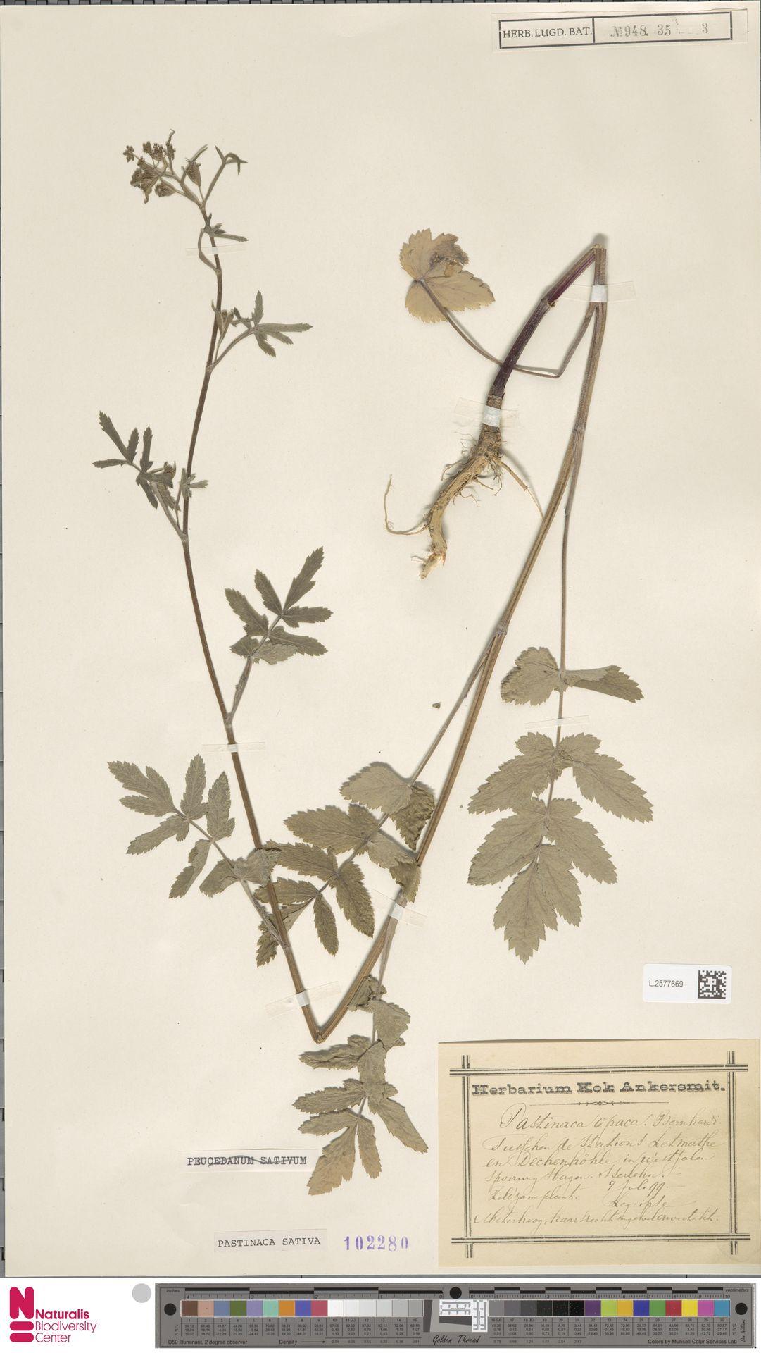 L.2577669   Pastinaca sativa L.
