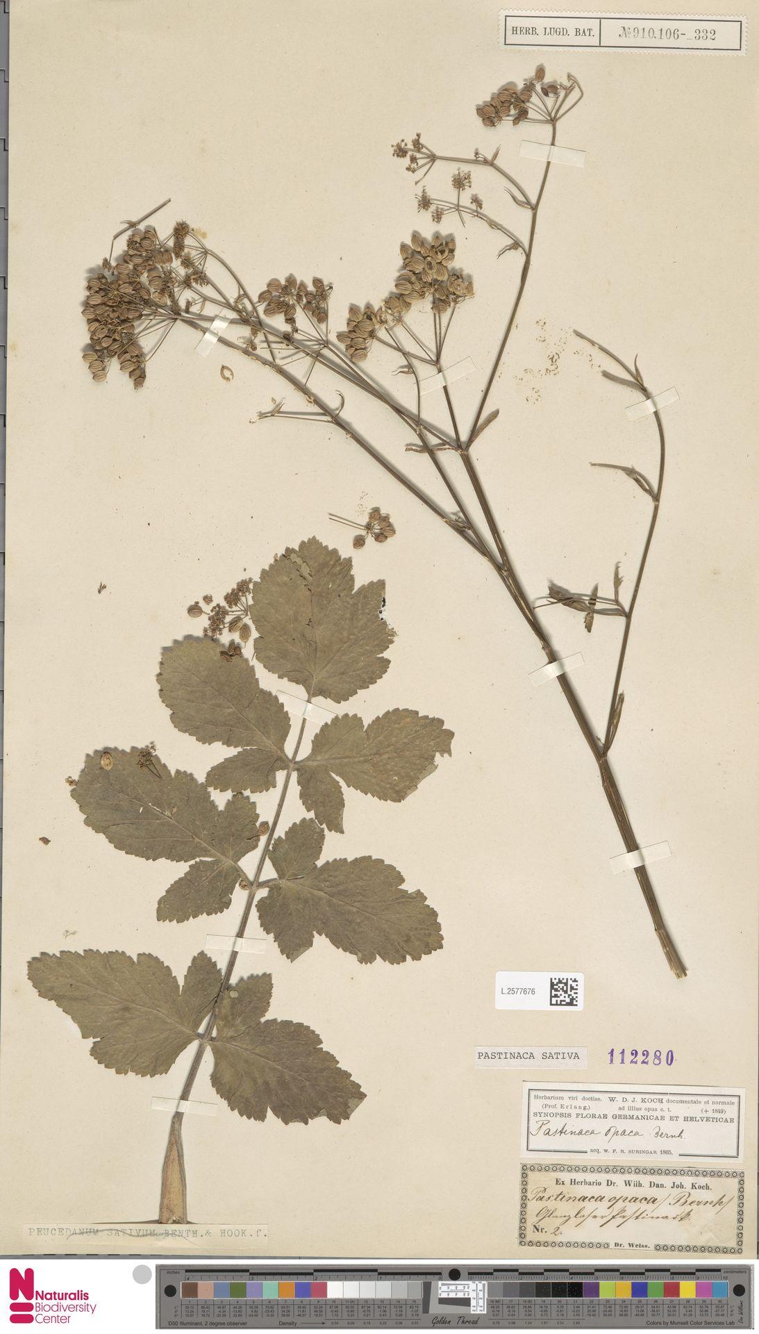 L.2577676   Pastinaca sativa L.
