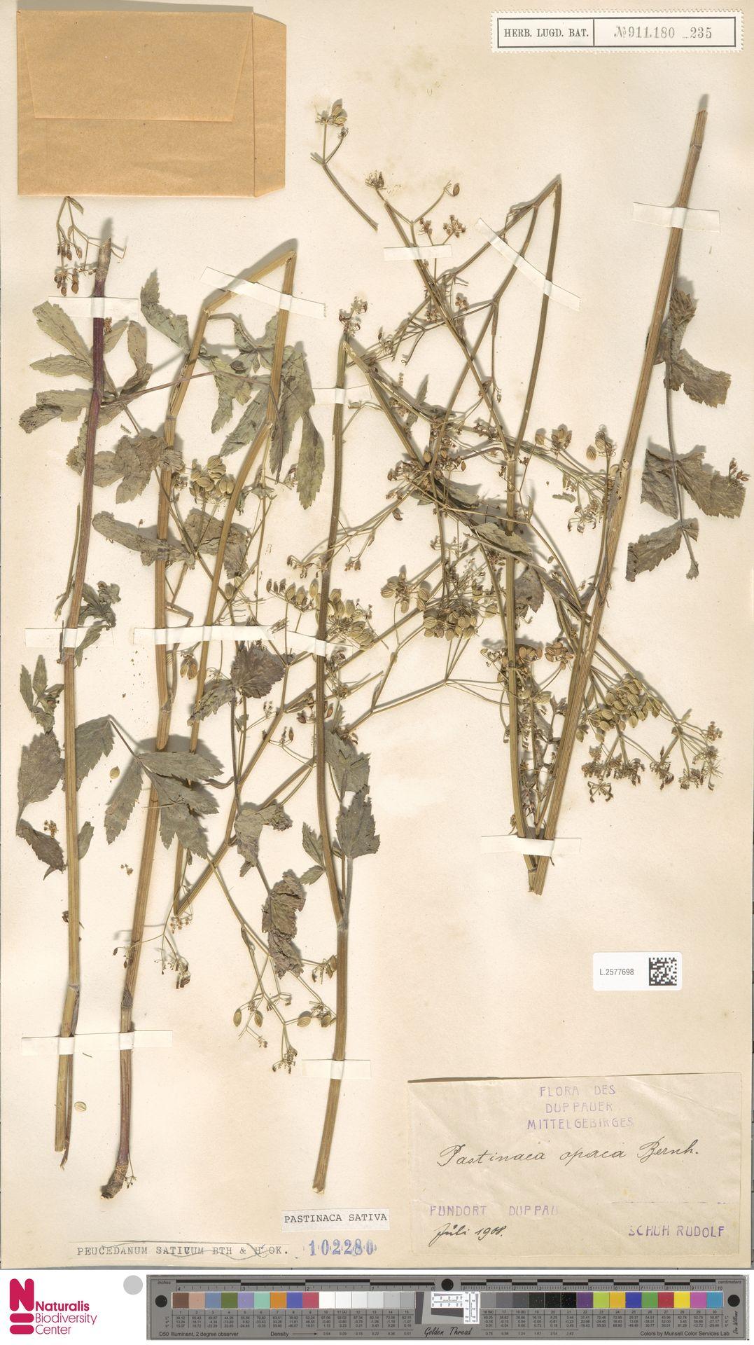 L.2577698 | Pastinaca sativa L.