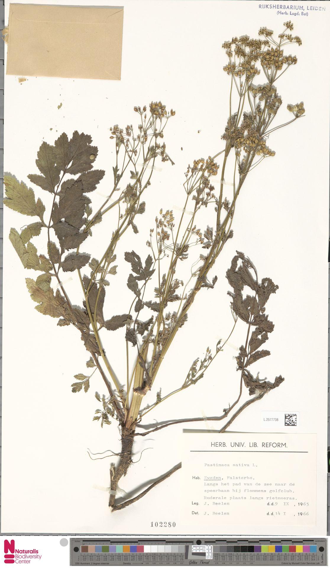 L.2577738 | Pastinaca sativa L.