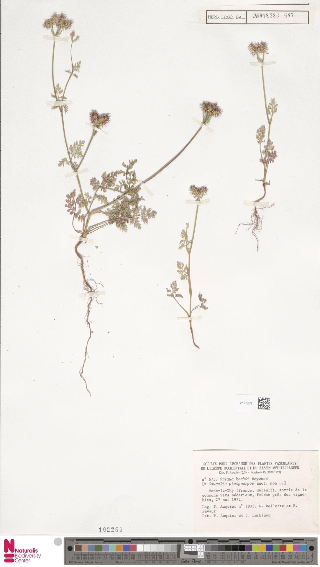 L.2577959 | Orlaya kochii Heywood
