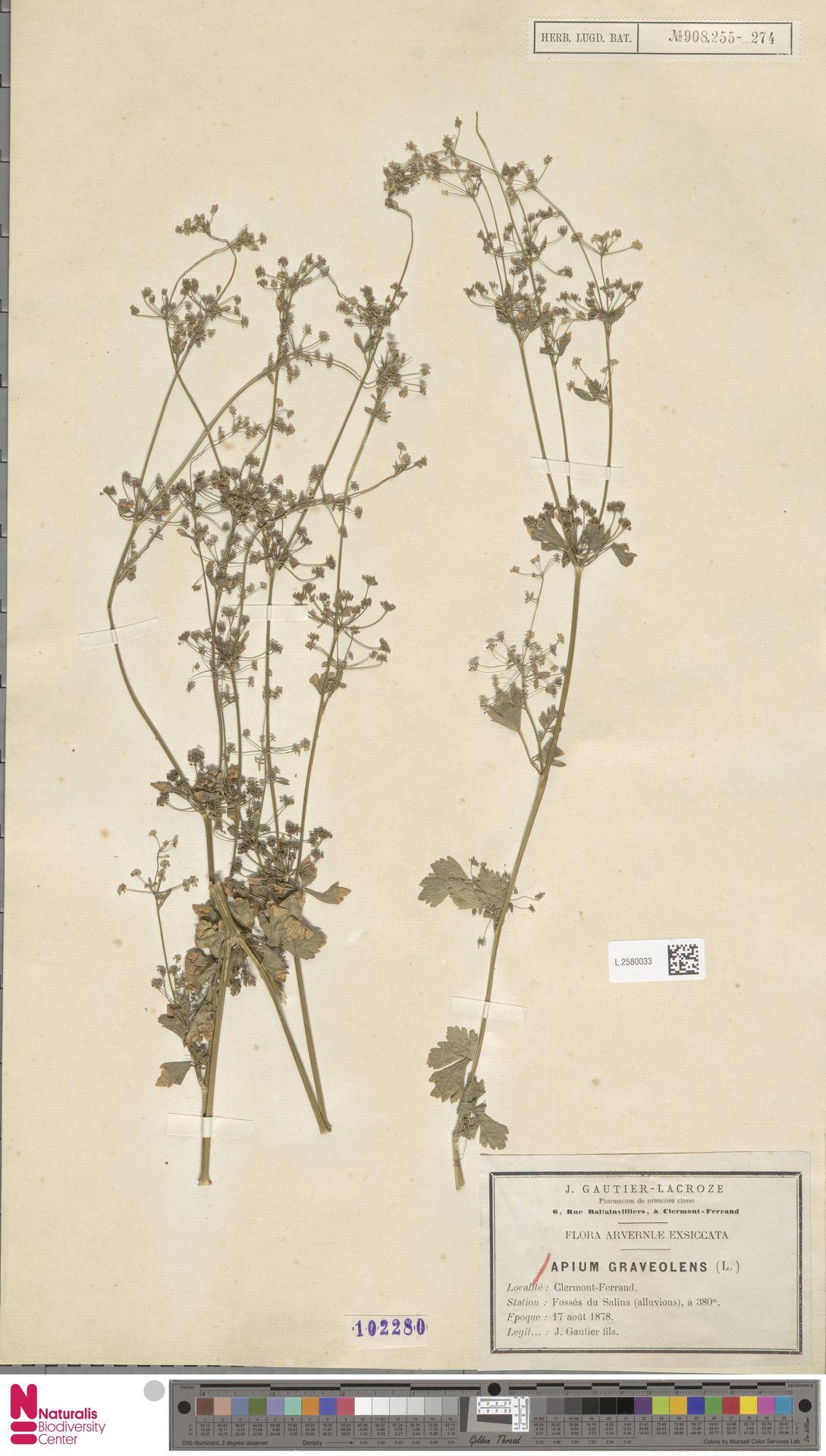 L.2580033 | Apium graveolens L.