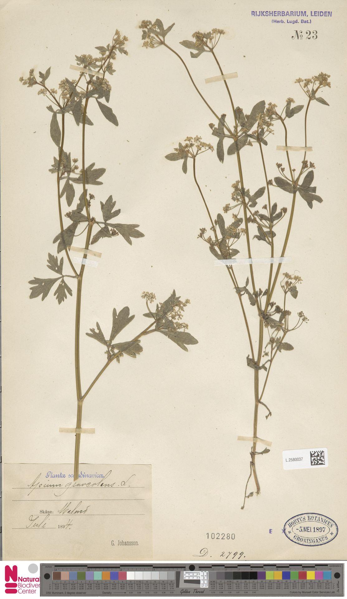 L.2580037 | Apium graveolens L.