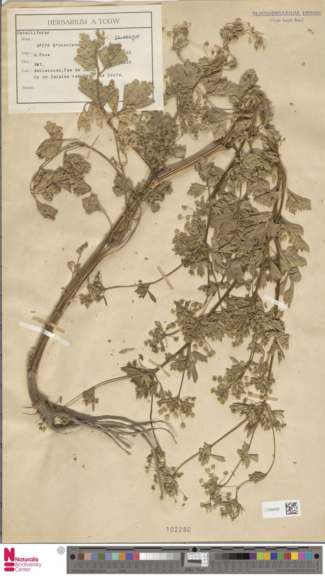 L.2580038 | Apium graveolens L.