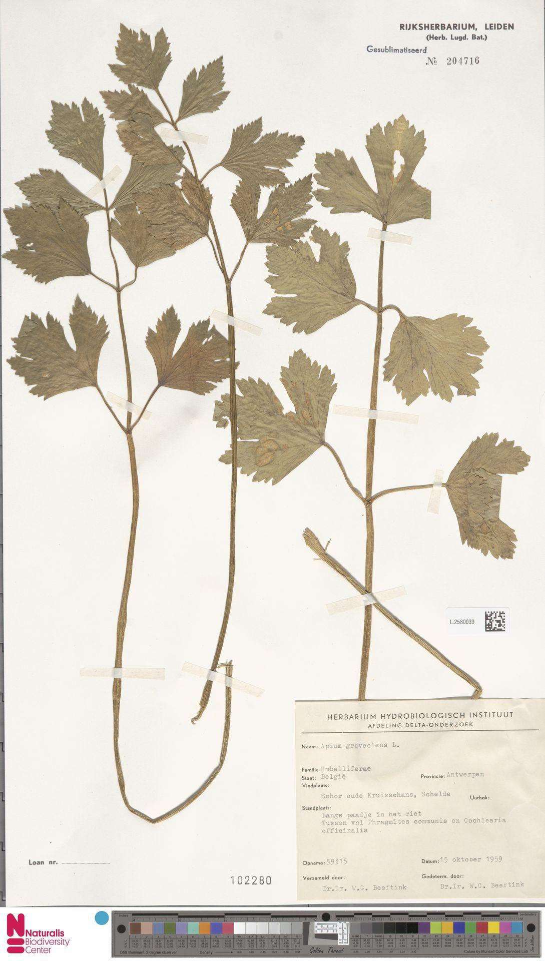 L.2580039 | Apium graveolens L.
