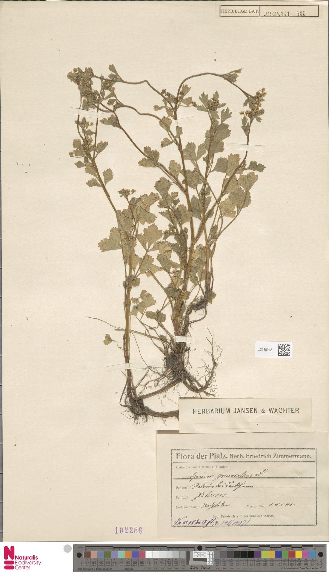 L.2580042 | Apium graveolens L.