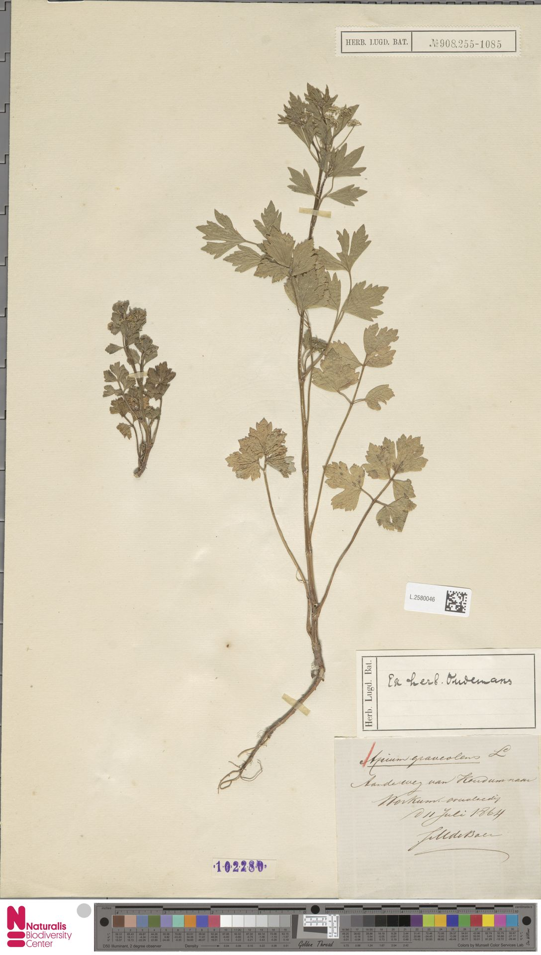L.2580046 | Apium graveolens L.