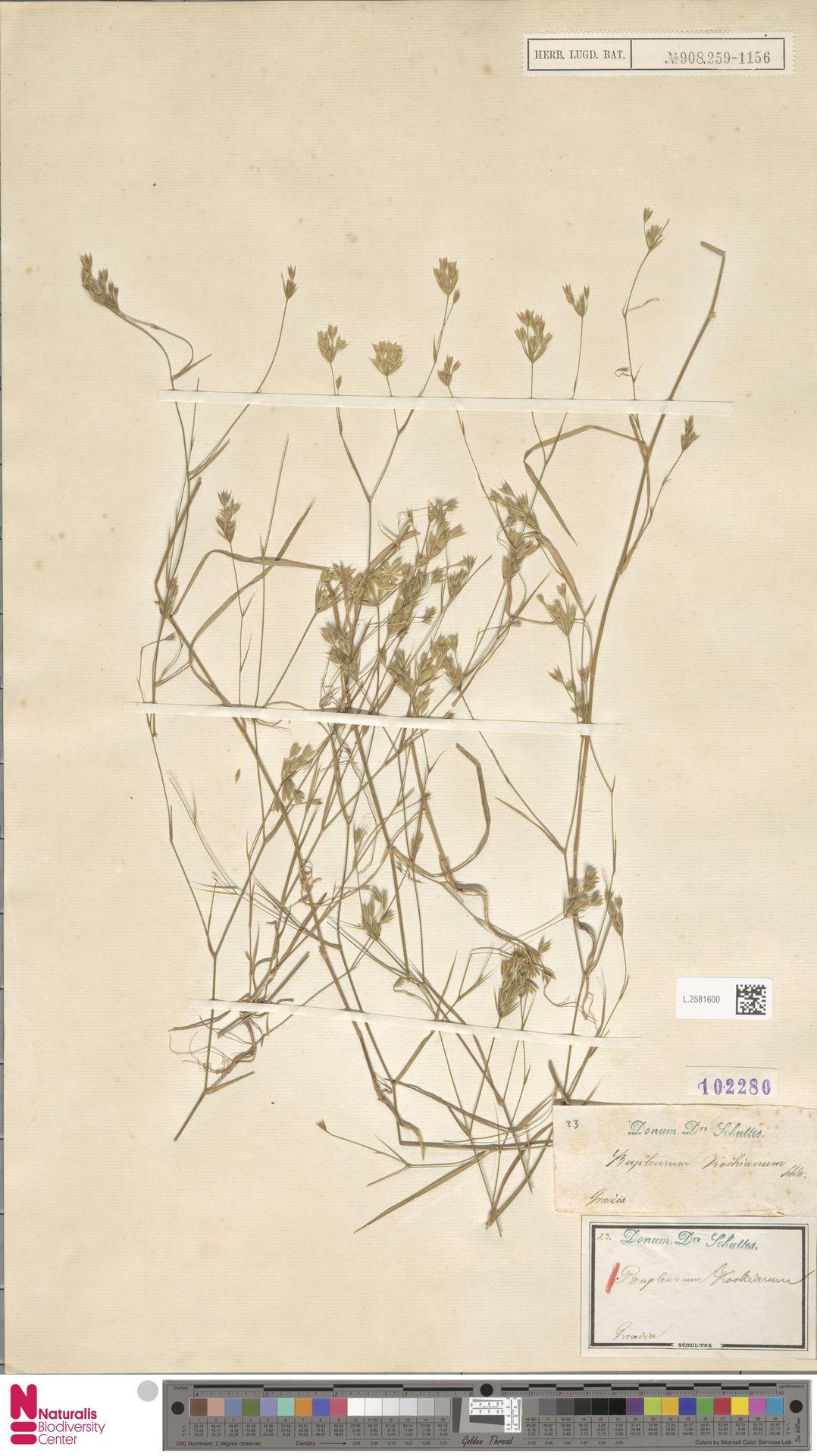 L.2581600 | Bupleurum kochianum