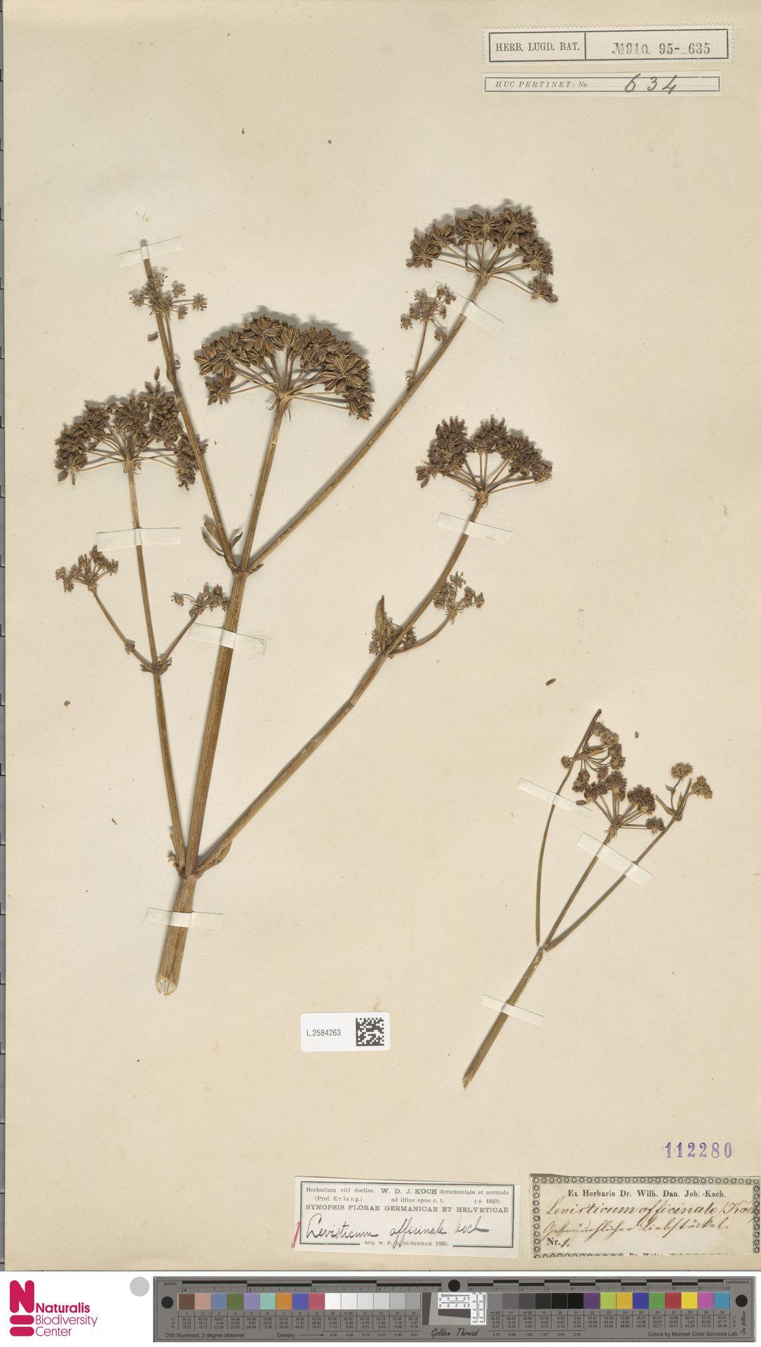 L.2584263 | Levisticum officinale W.D.J.Koch