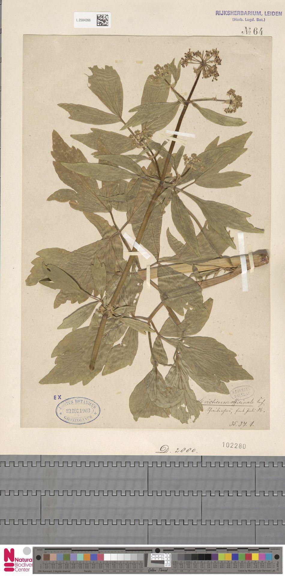 L.2584266 | Levisticum officinale W.D.J.Koch