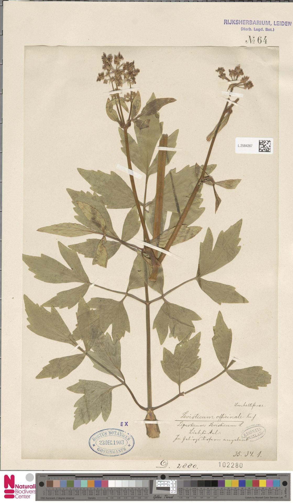 L.2584267 | Levisticum officinale W.D.J.Koch