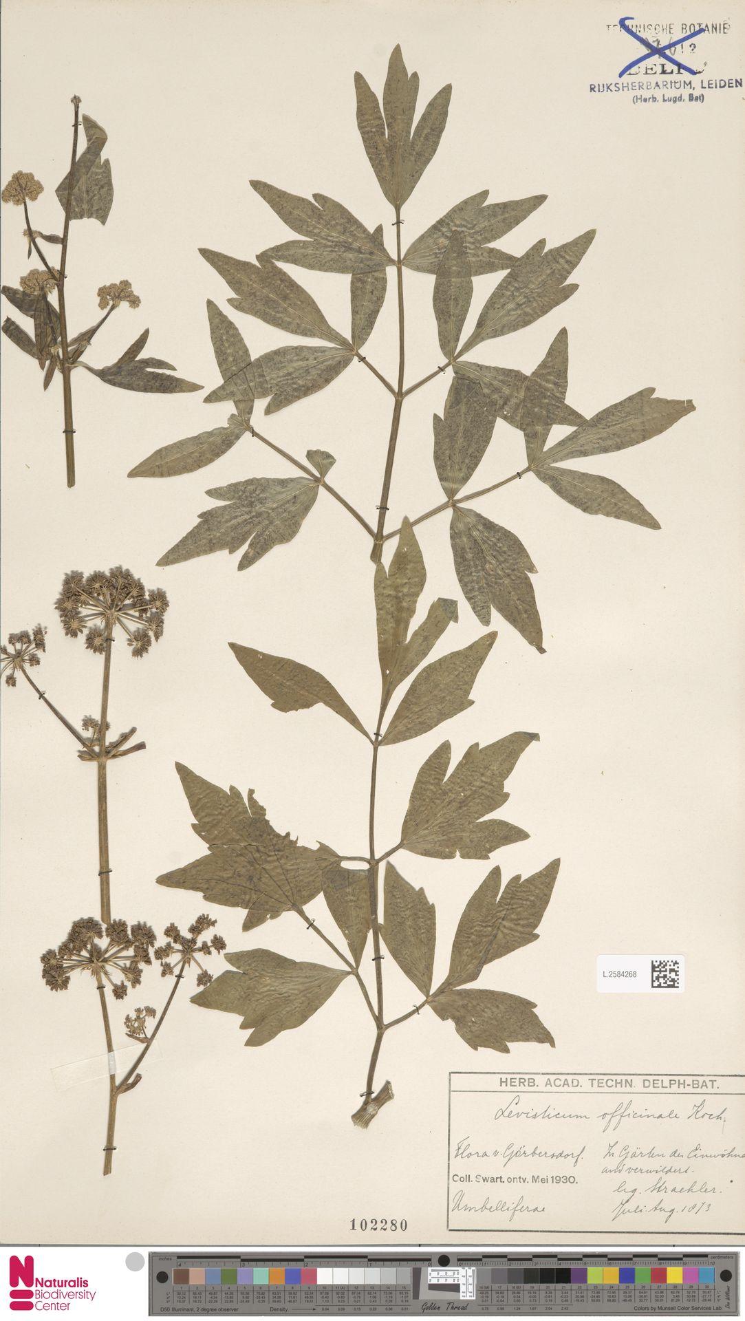 L.2584268 | Levisticum officinale W.D.J.Koch