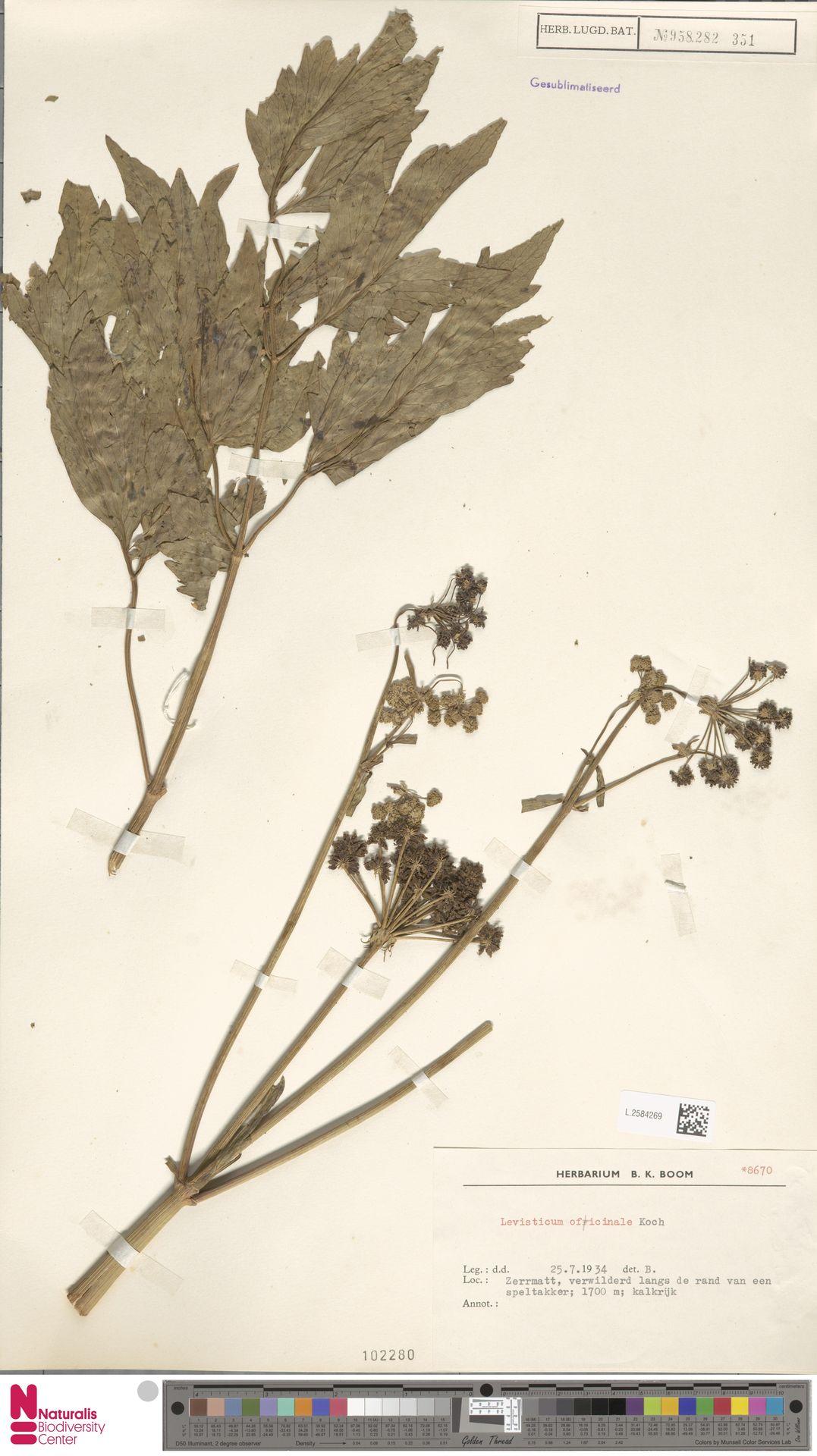 L.2584269 | Levisticum officinale W.D.J.Koch