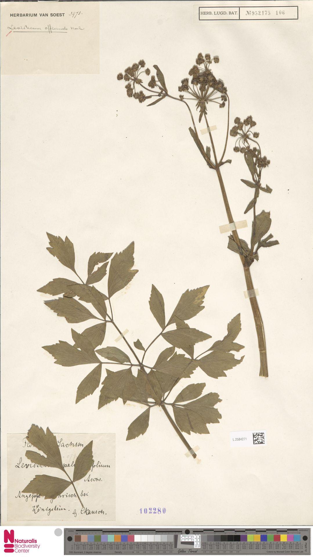 L.2584271 | Levisticum officinale W.D.J.Koch