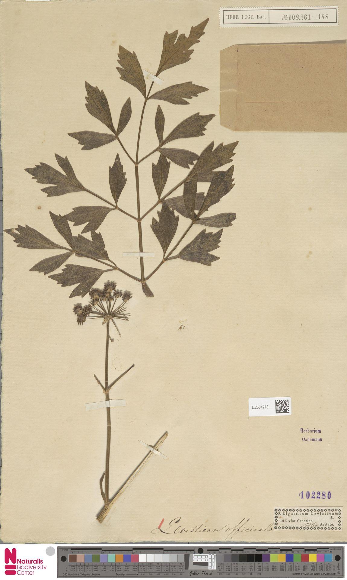 L.2584273 | Levisticum officinale W.D.J.Koch