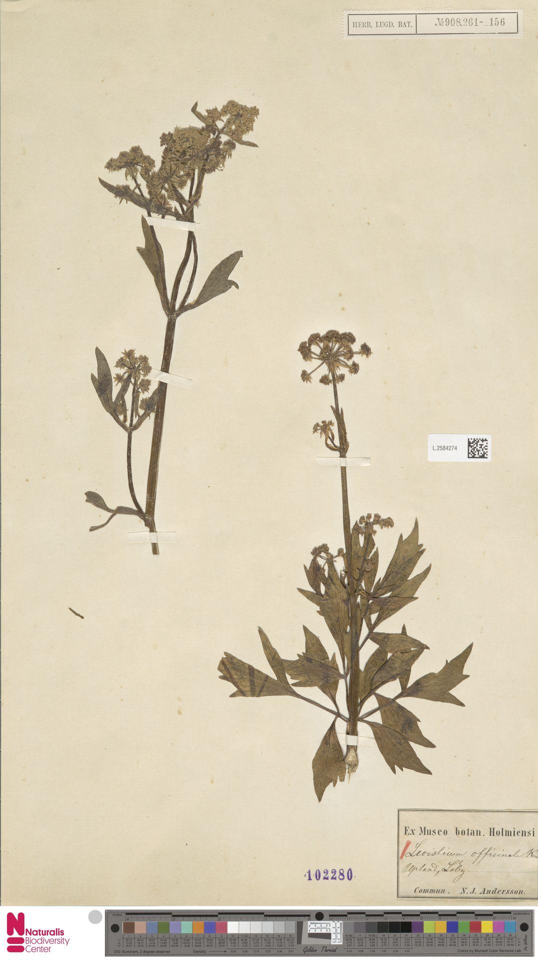 L.2584274 | Levisticum officinale W.D.J.Koch