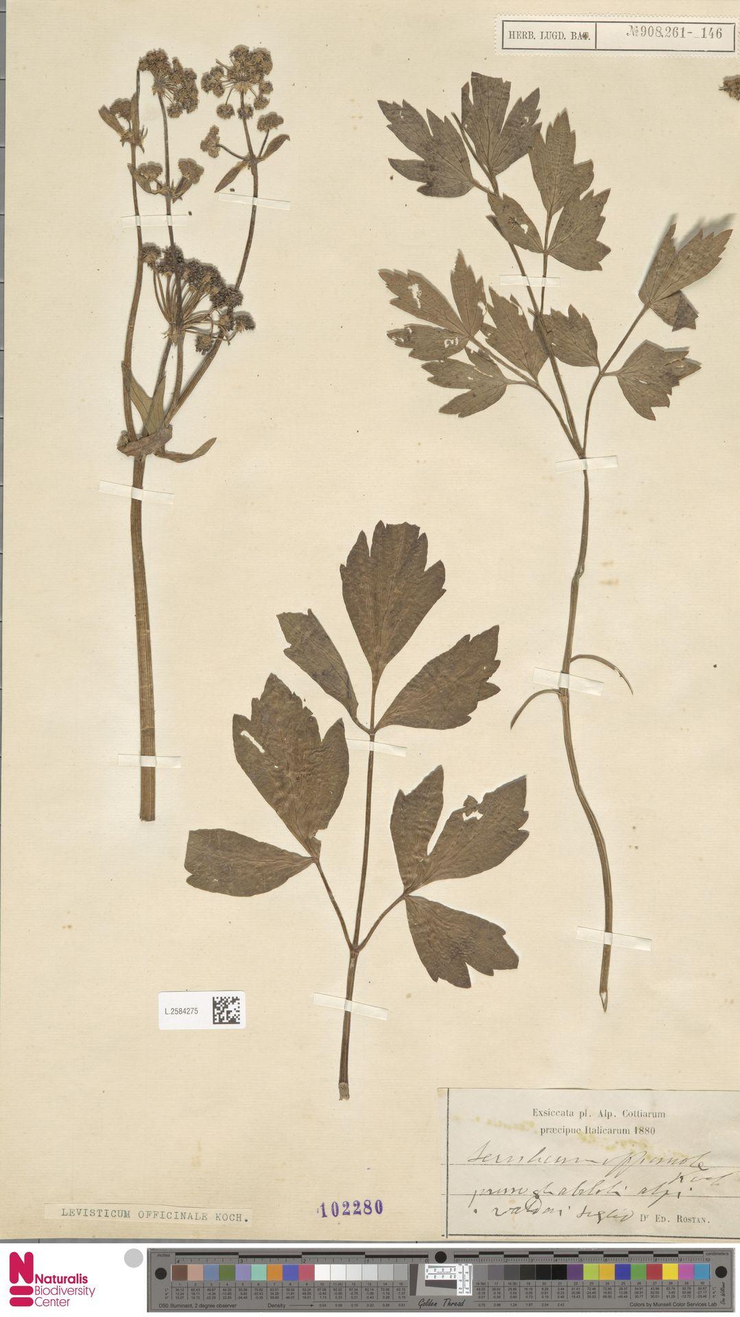 L.2584275 | Levisticum officinale W.D.J.Koch
