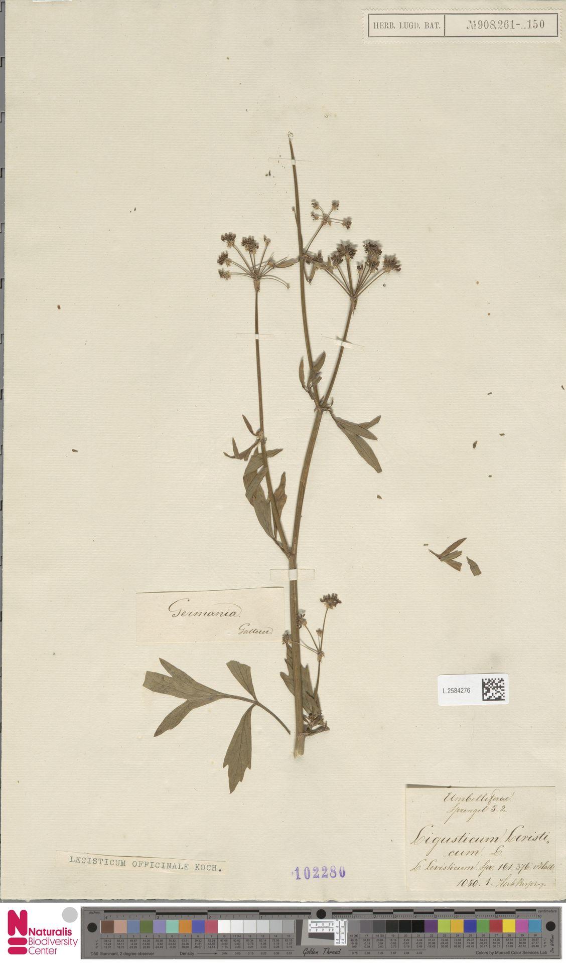 L.2584276 | Levisticum officinale W.D.J.Koch