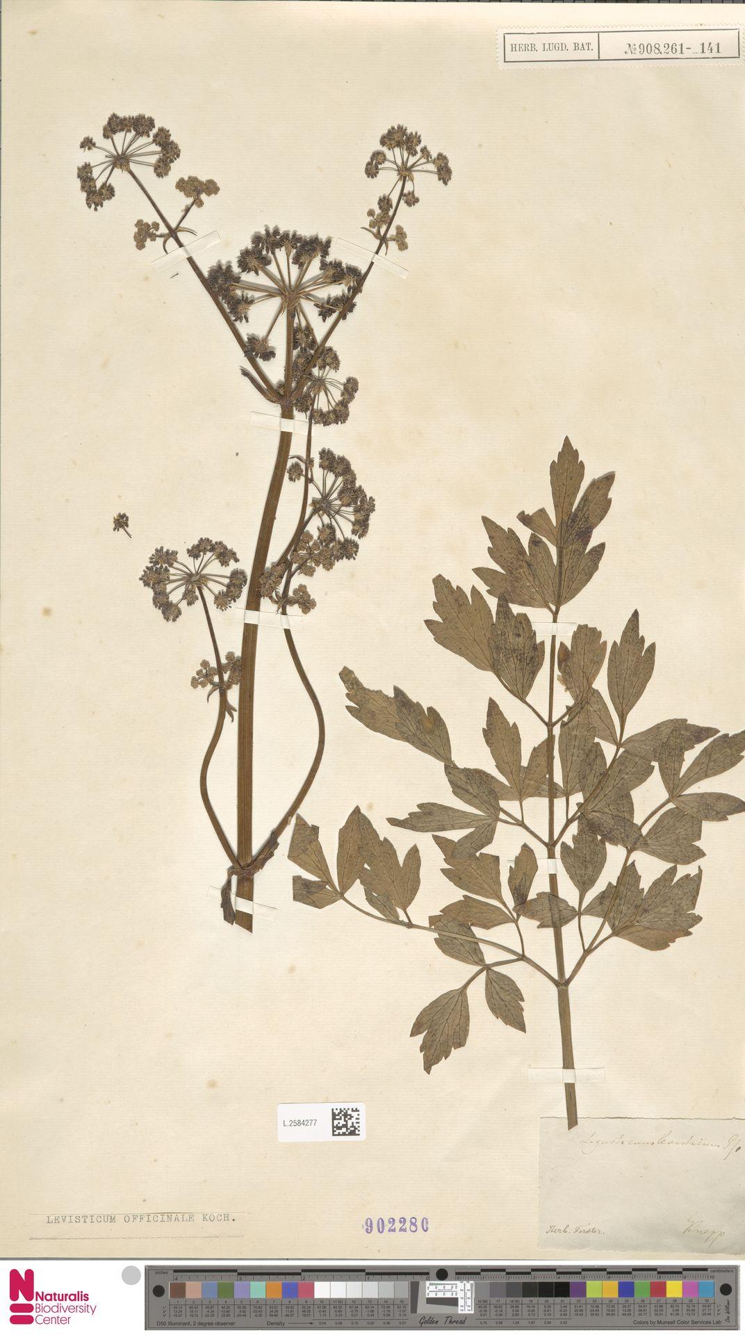 L.2584277 | Levisticum officinale W.D.J.Koch