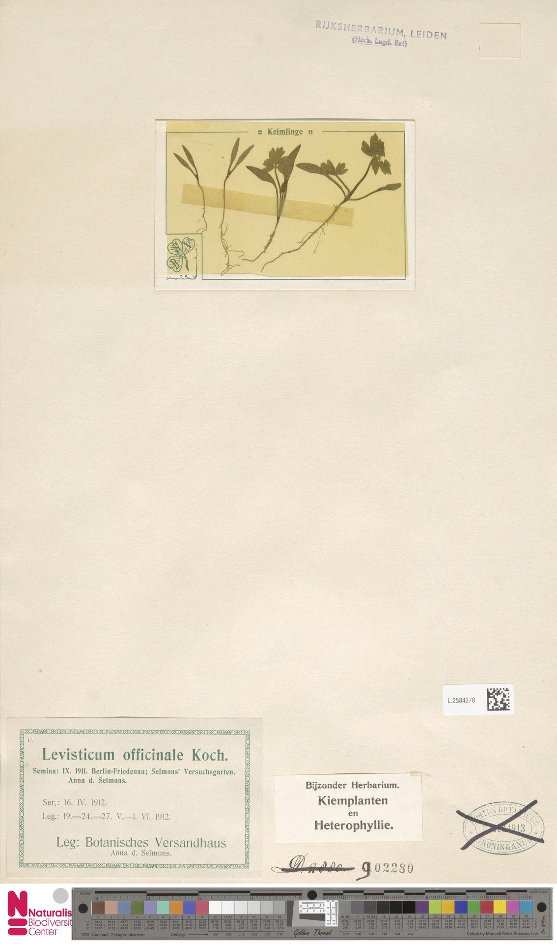 L.2584278   Levisticum officinale W.D.J.Koch