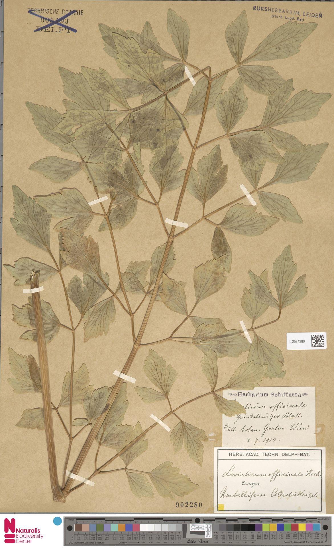 L.2584280 | Levisticum officinale W.D.J.Koch