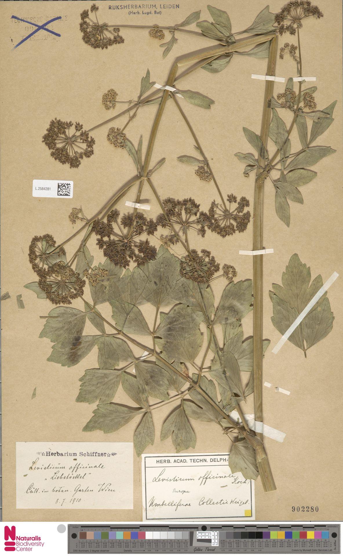 L.2584281 | Levisticum officinale W.D.J.Koch
