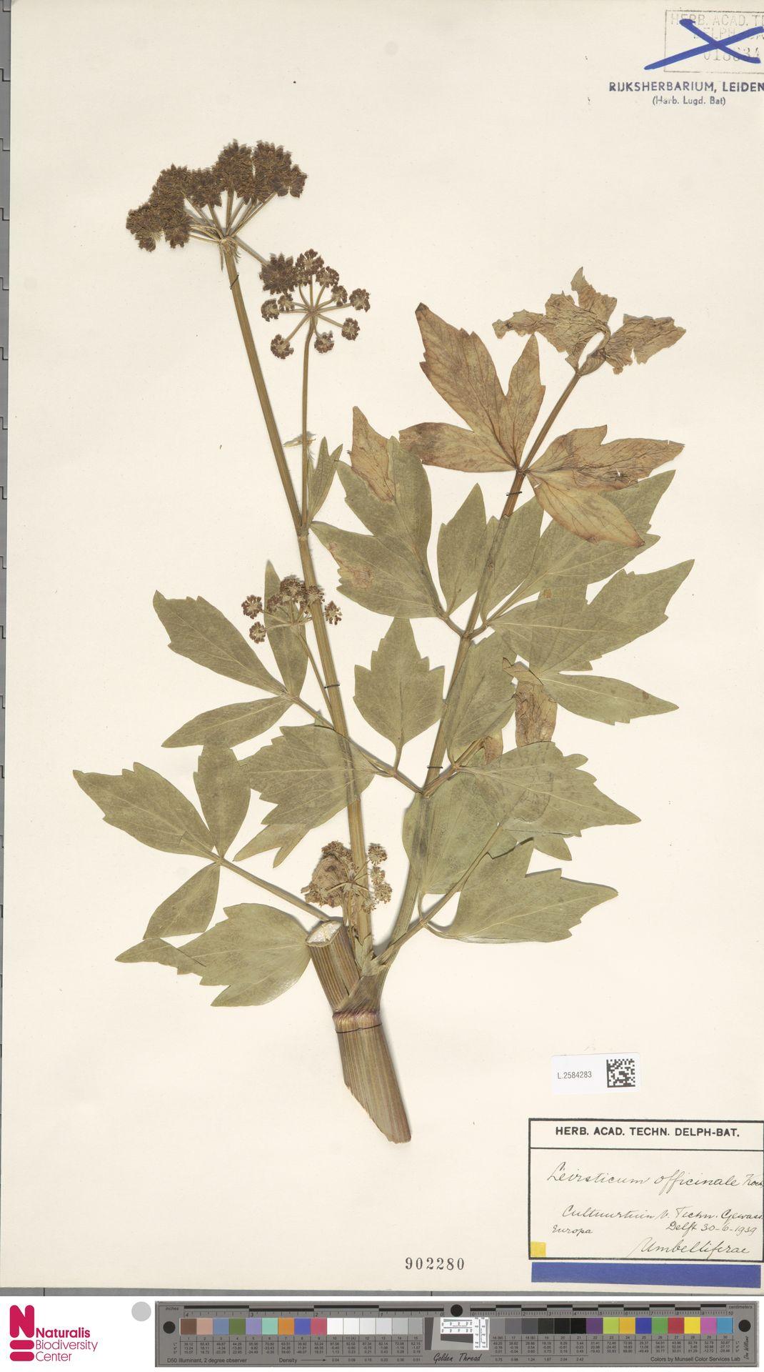 L.2584283 | Levisticum officinale W.D.J.Koch