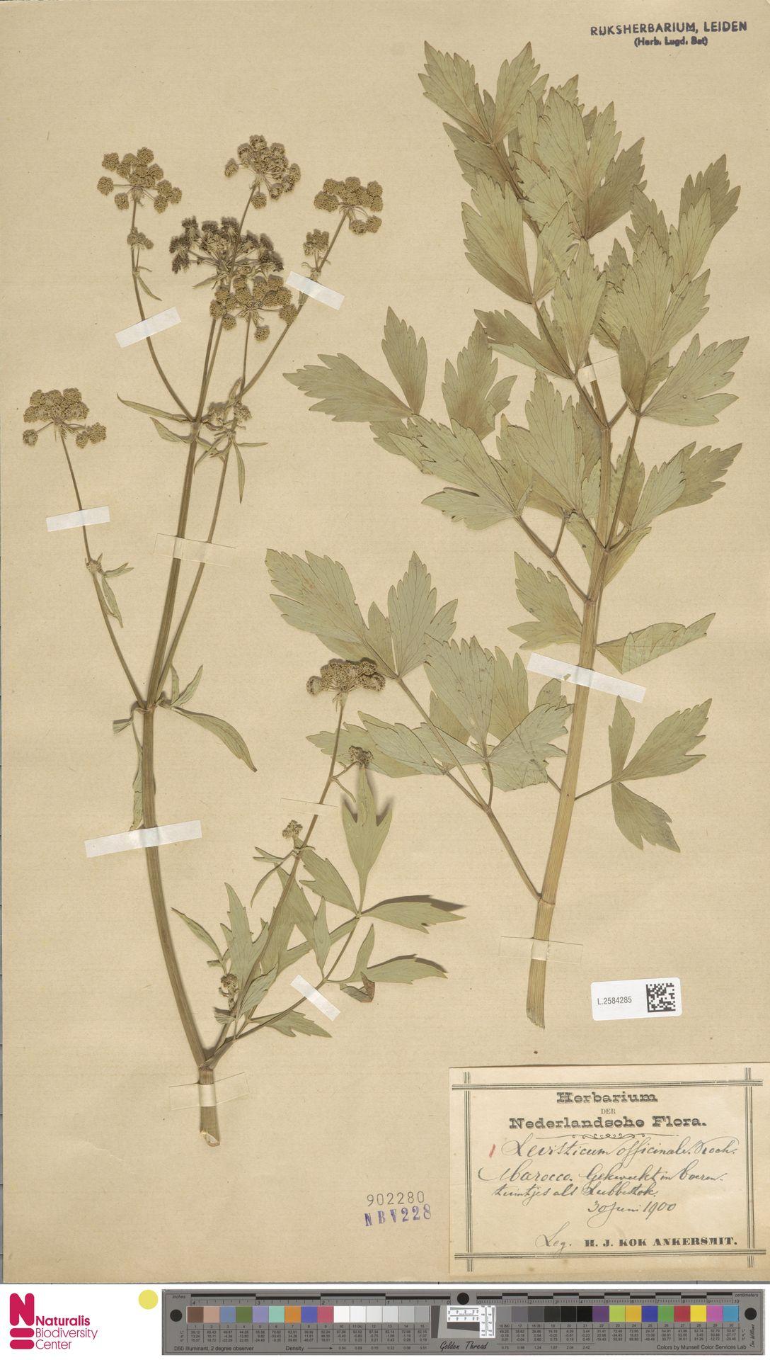 L.2584285 | Levisticum officinale W.D.J.Koch