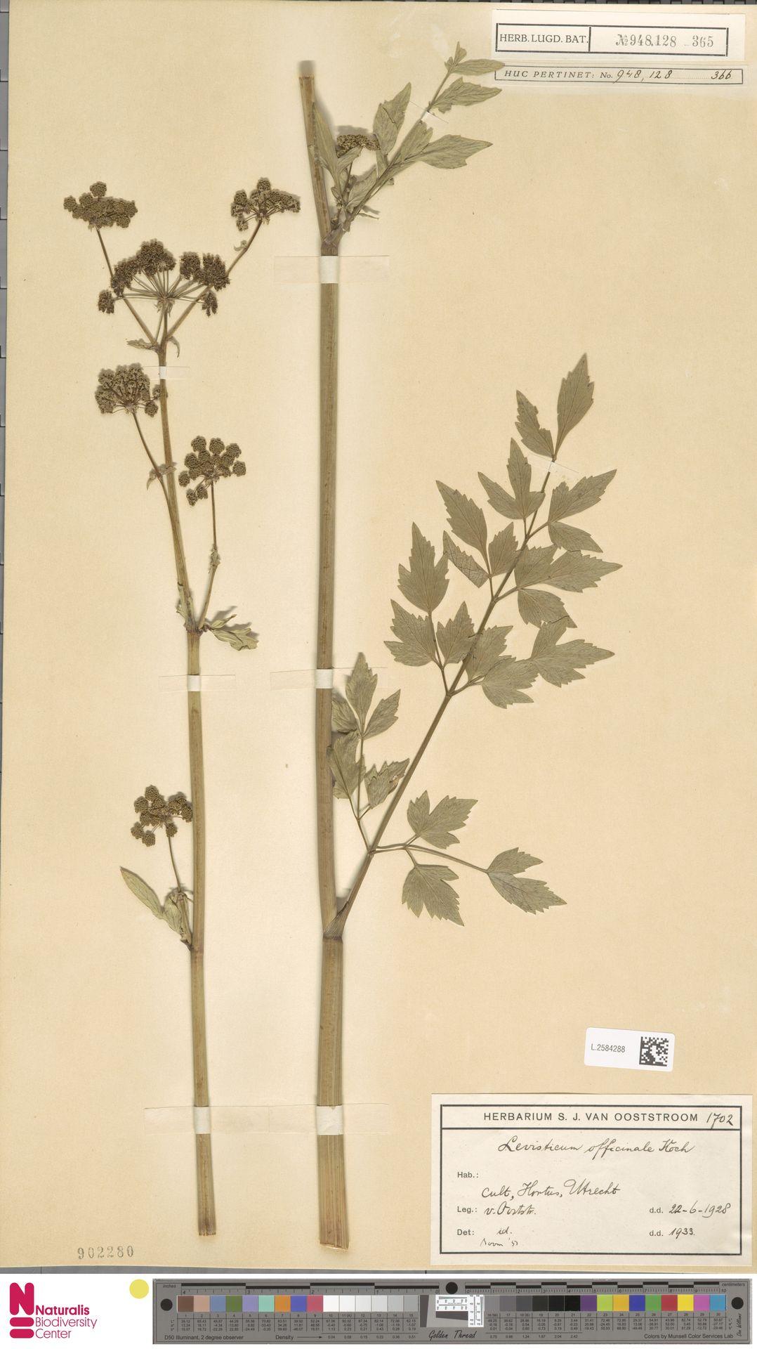 L.2584288 | Levisticum officinale W.D.J.Koch