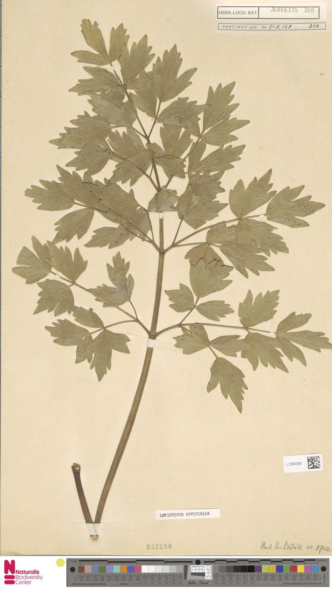L.2584289   Levisticum officinale W.D.J.Koch