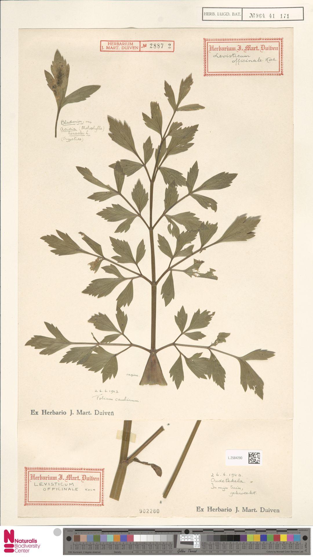 L.2584290 | Levisticum officinale W.D.J.Koch