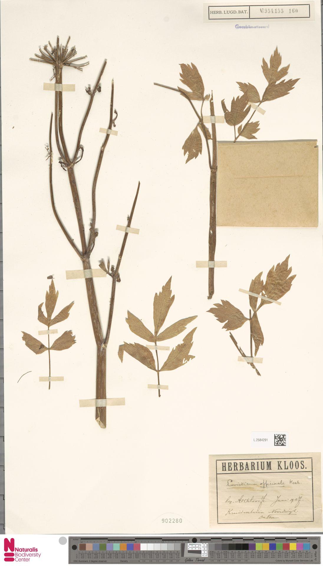 L.2584291 | Levisticum officinale W.D.J.Koch