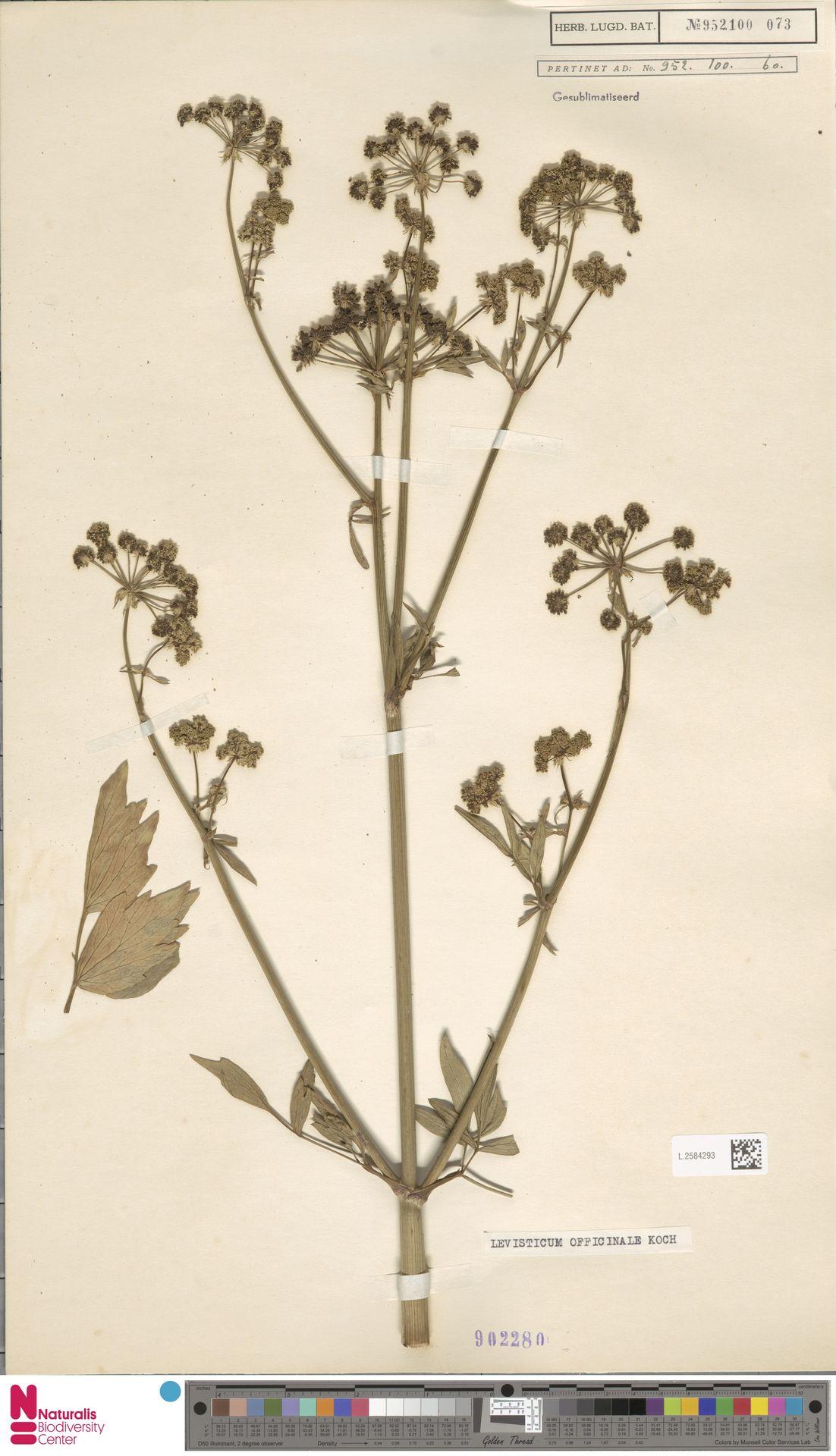 L.2584293 | Levisticum officinale W.D.J.Koch