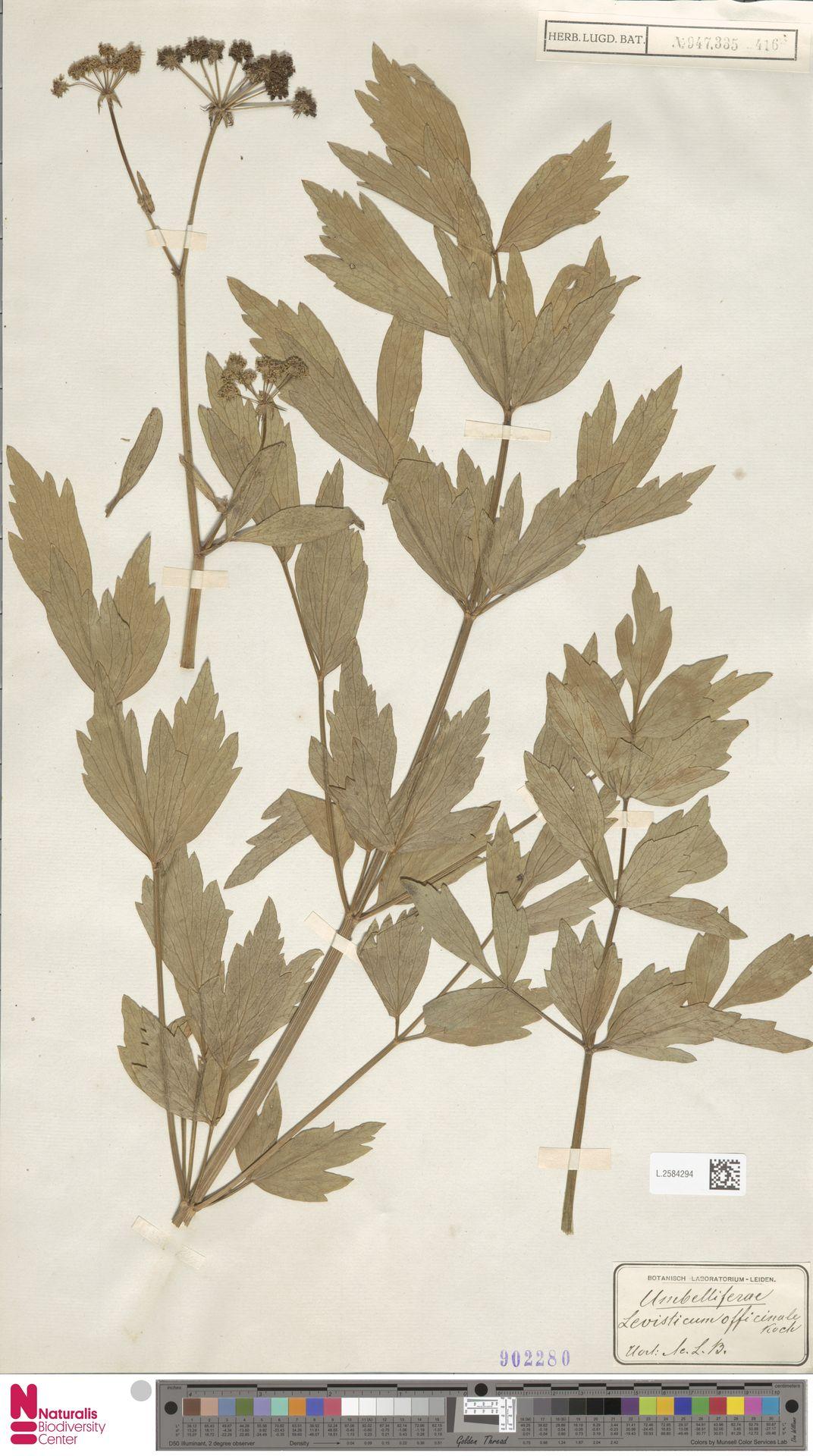 L.2584294 | Levisticum officinale W.D.J.Koch