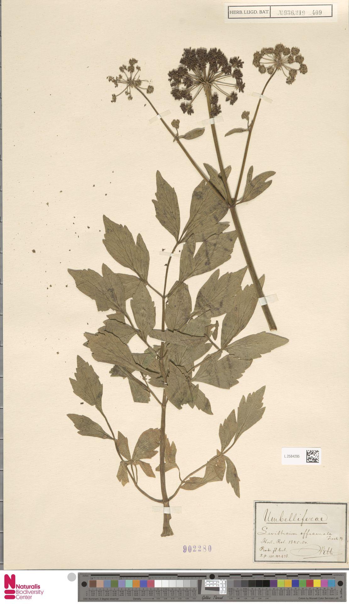 L.2584295 | Levisticum officinale W.D.J.Koch