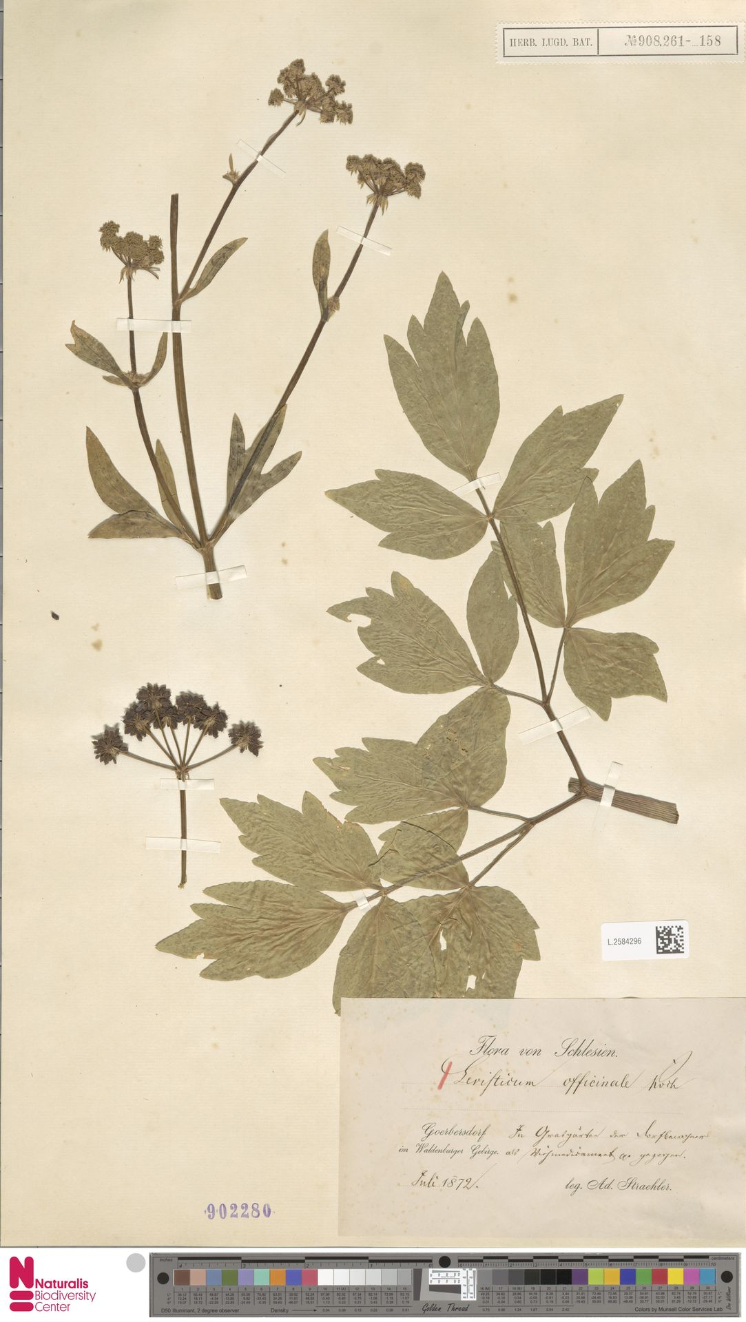 L.2584296 | Levisticum officinale W.D.J.Koch