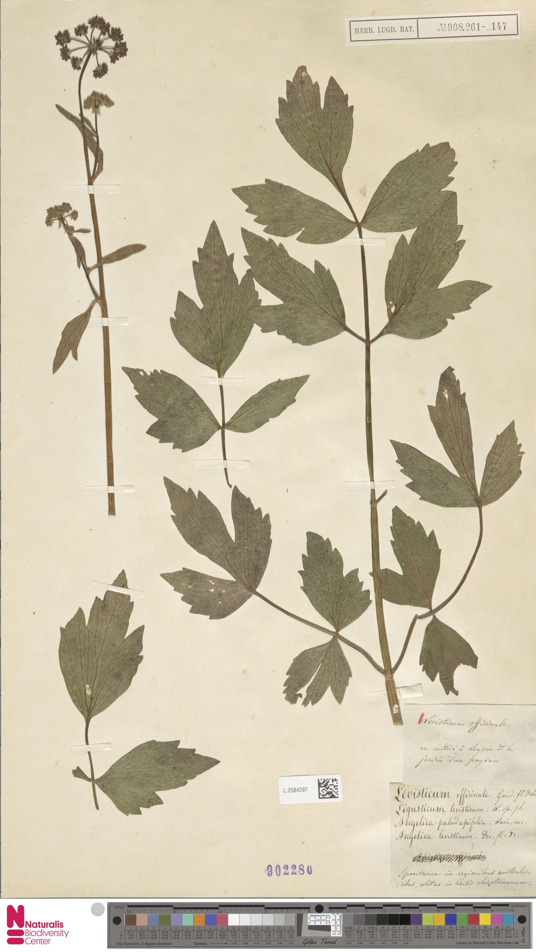 L.2584297 | Levisticum officinale W.D.J.Koch