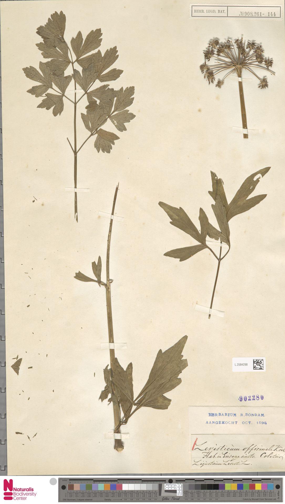L.2584298 | Levisticum officinale W.D.J.Koch