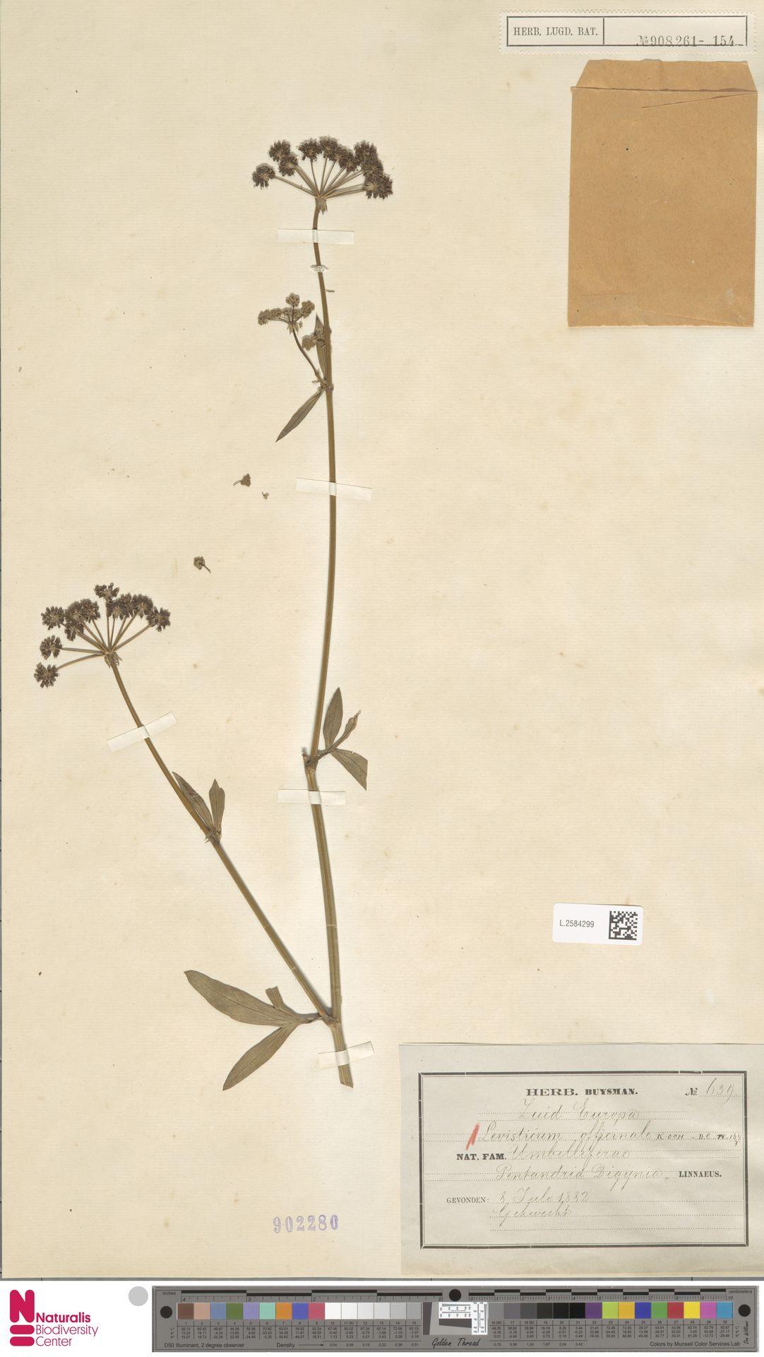 L.2584299 | Levisticum officinale W.D.J.Koch