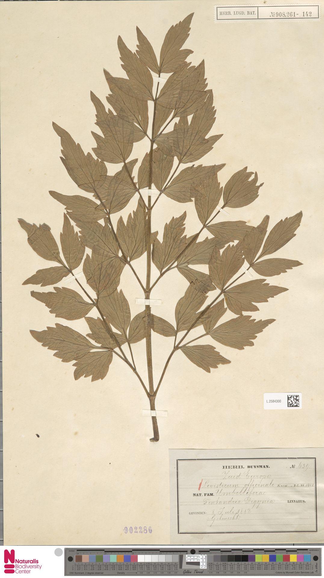L.2584300 | Levisticum officinale W.D.J.Koch