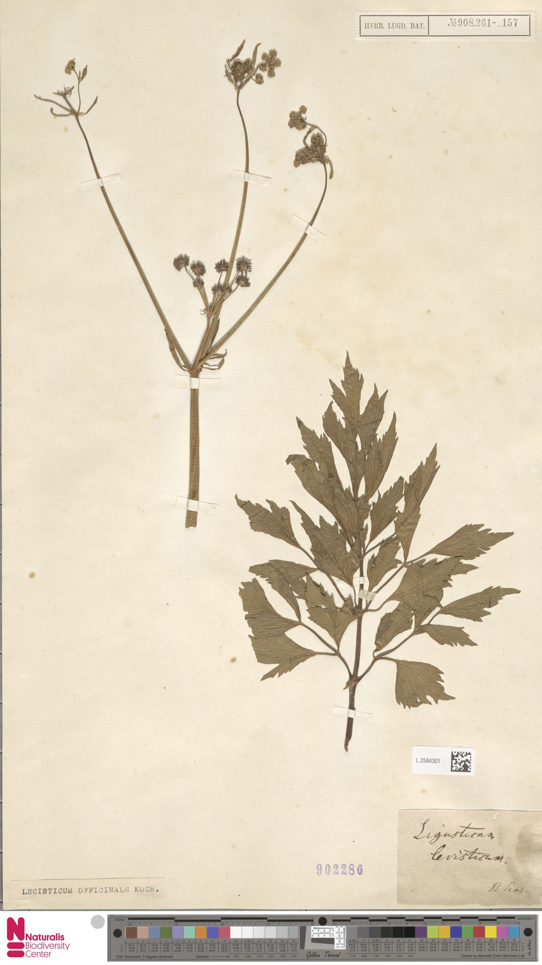 L.2584301 | Levisticum officinale W.D.J.Koch