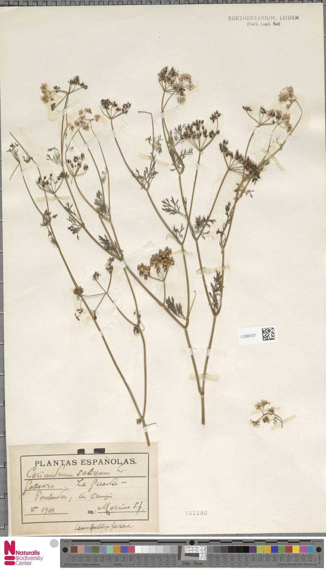L.2585127 | Coriandrum sativum L.
