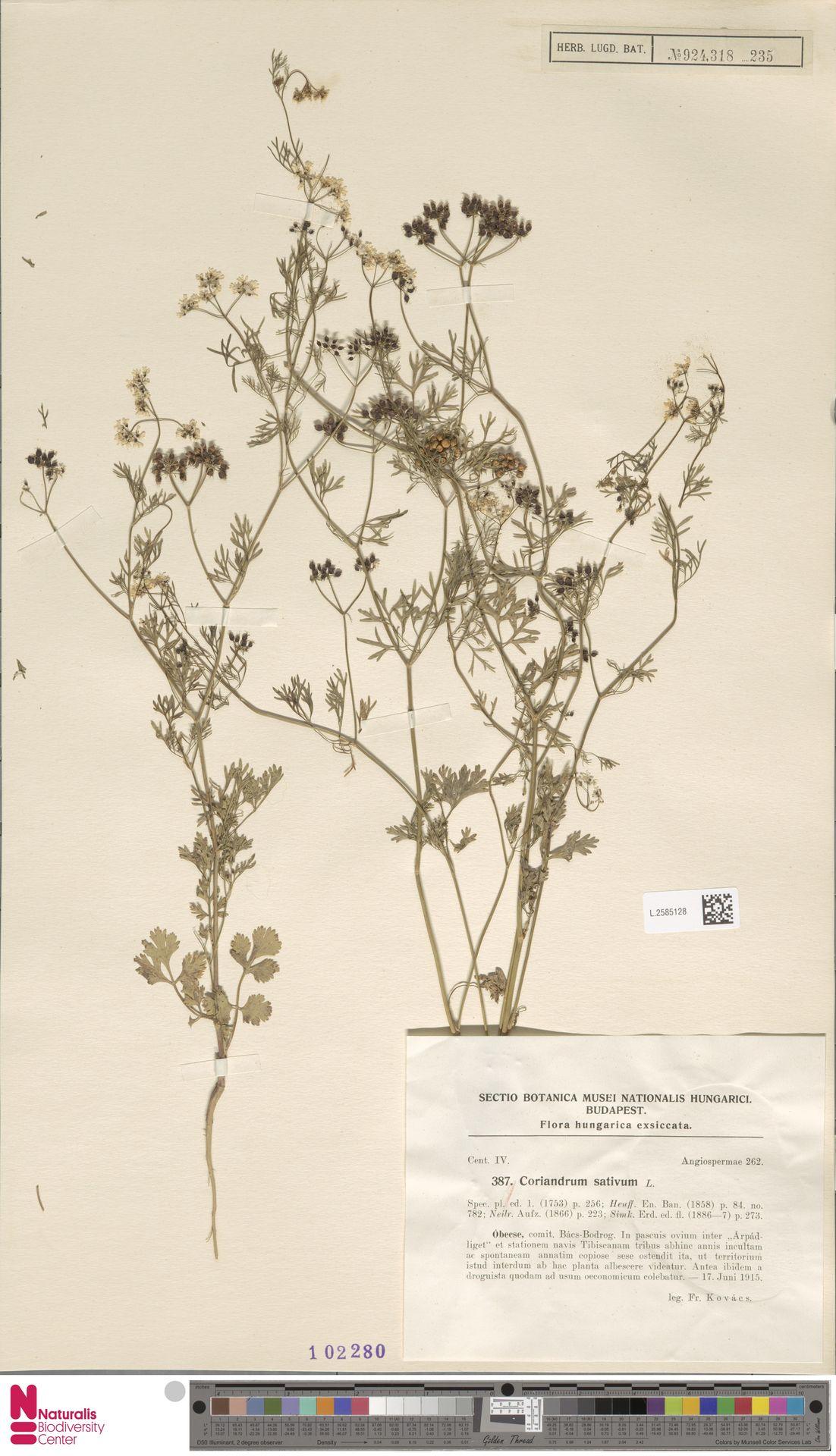 L.2585128   Coriandrum sativum L.