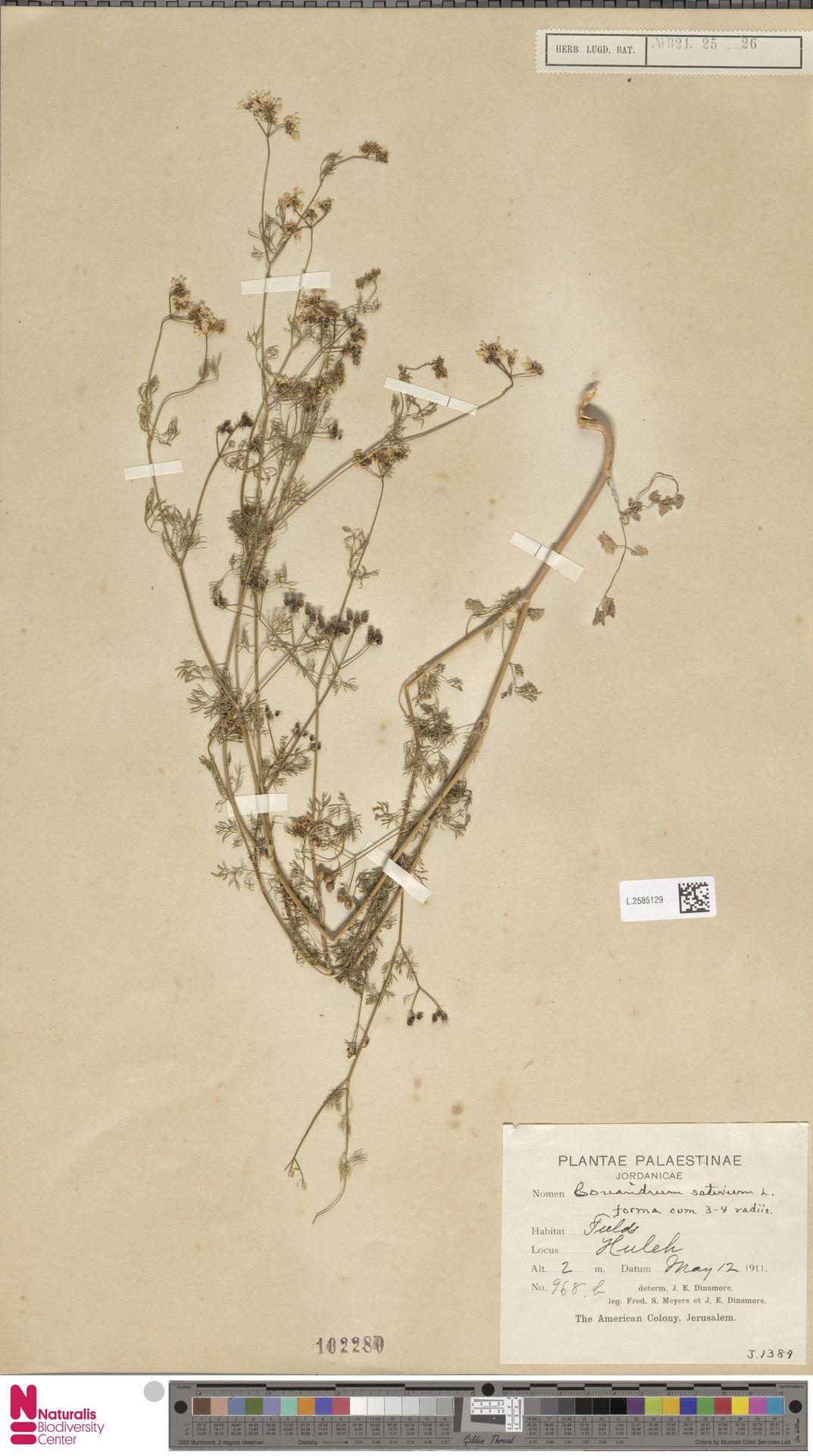 L.2585129   Coriandrum sativum L.