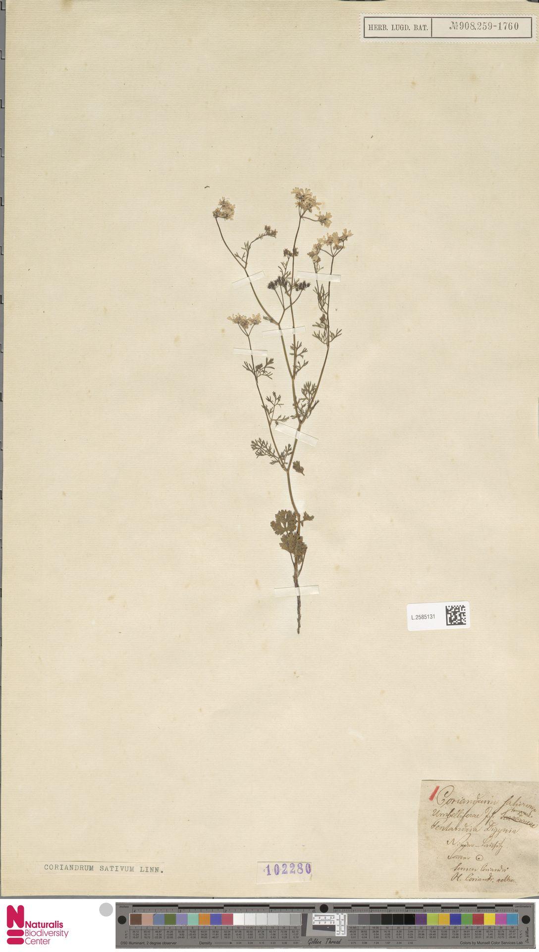L.2585131   Coriandrum sativum L.