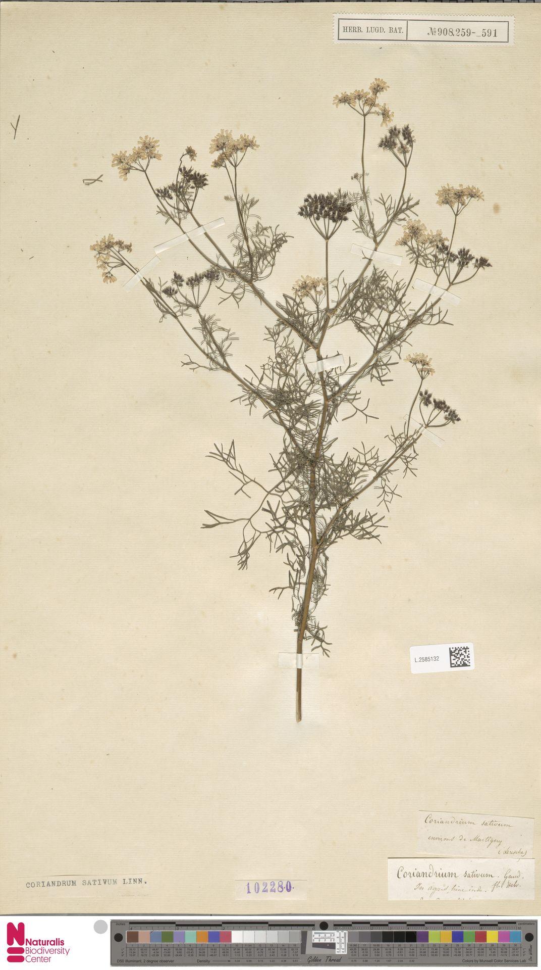L.2585132 | Coriandrum sativum L.