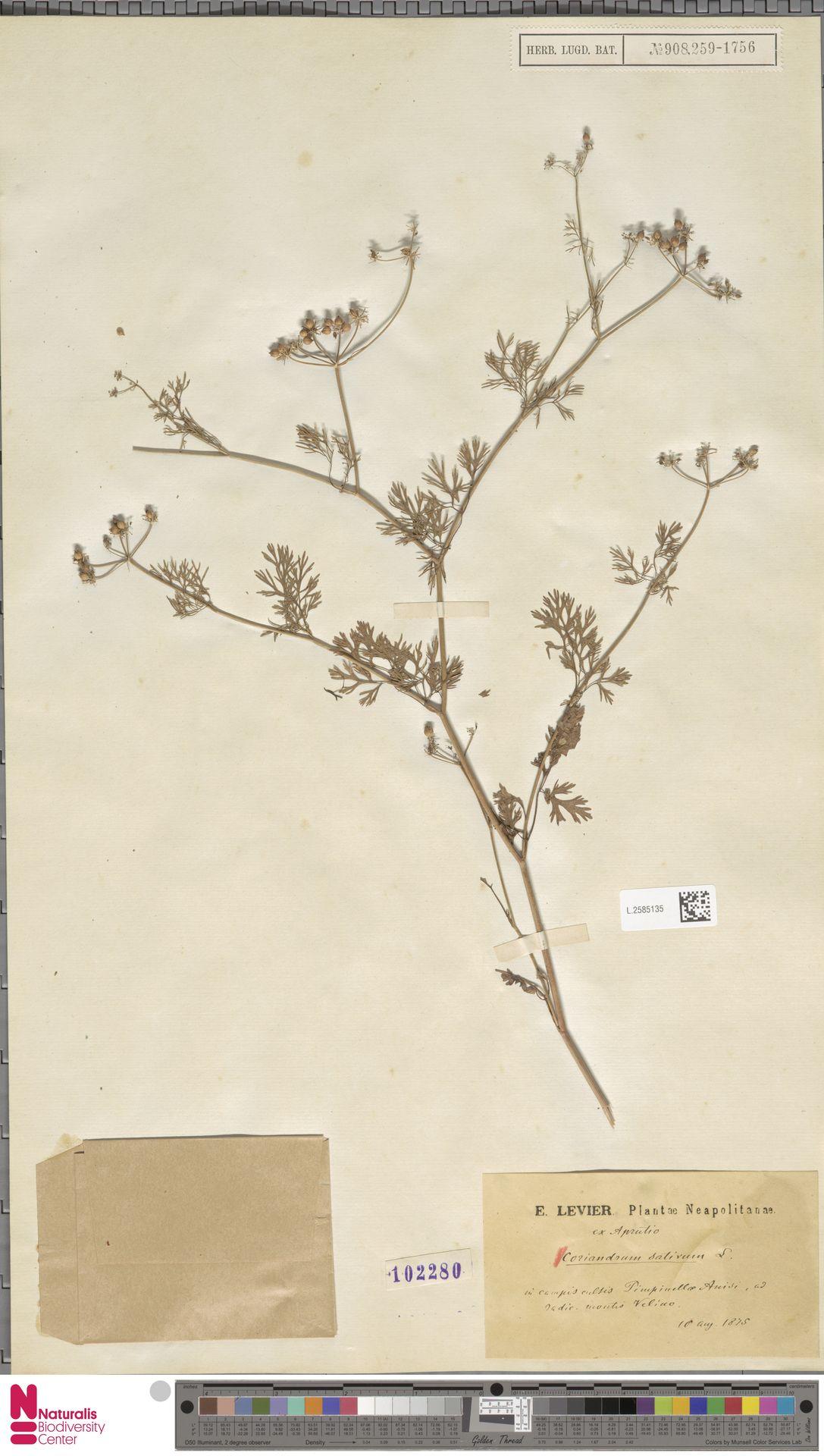 L.2585135 | Coriandrum sativum L.