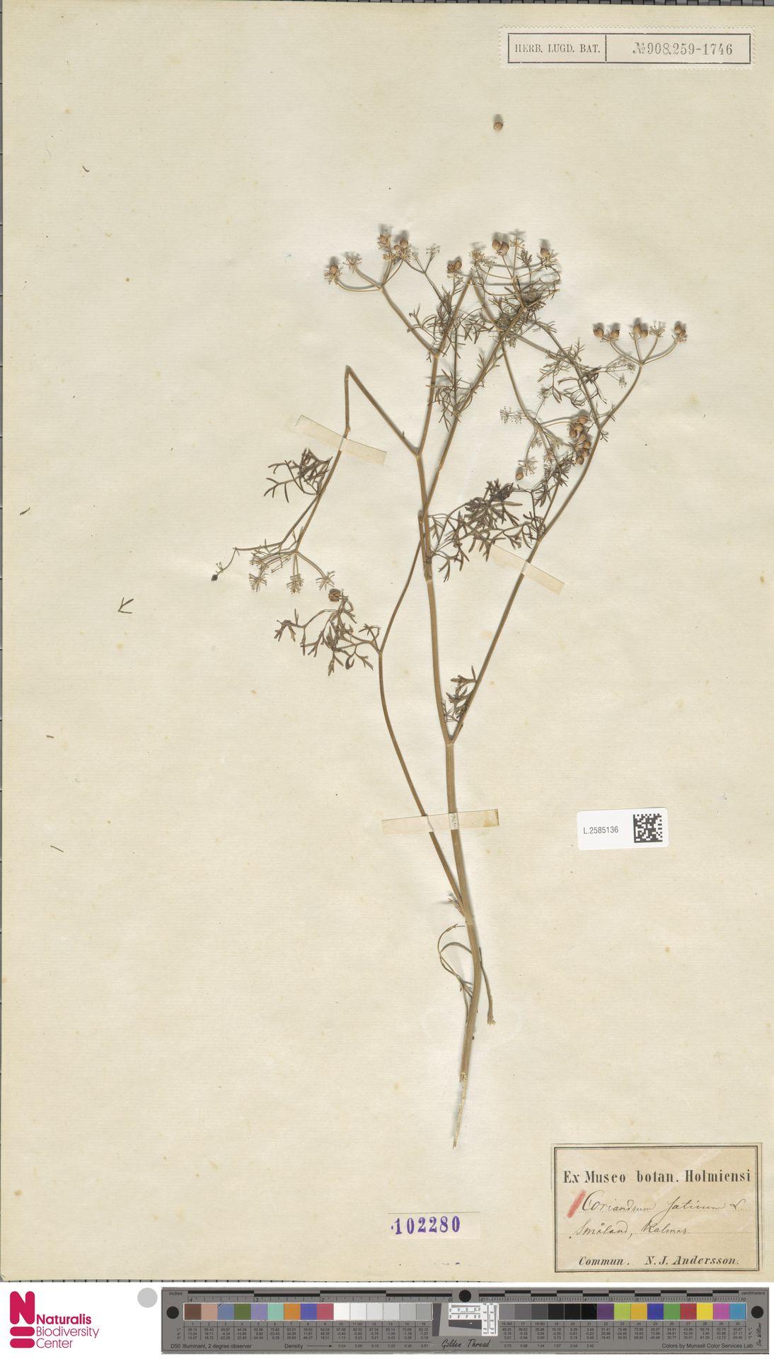 L.2585136 | Coriandrum sativum L.